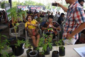 Chính quyền mới Thái Lan ưu tiên phát triển công nghiệp cần sa