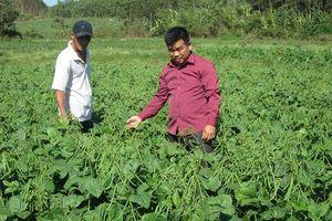 Cấp bách chuyển đổi cây trồng: Đậu xanh trên đất lúa
