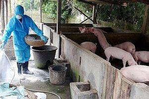 Hà Nội: Tiếp tục phát sinh bệnh dịch tả lợn châu Phi tại 89 hộ chăn nuôi