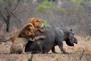 Những màn đại chiến giữa sư tử và hà mã