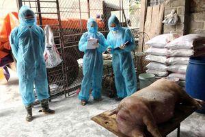 Hà Nội tiêu hủy gần 65.000 con lợn bố, mẹ vì dịch tả châu Phi