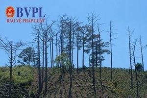 Hậu vụ rừng thông bị đầu độc: Lâm Đồng thu hồi gần 200 dự án liên quan đến rừng và đất lâm nghiệp