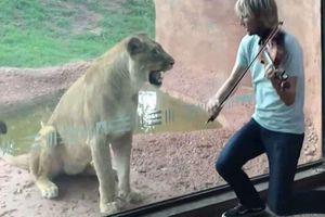 Sư tử cái 'nổi đóa' với giai điệu violon của nhạc công