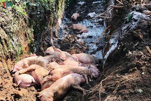 Bình Dương tiêu hủy hơn 39.000 con lợn nhiễm dịch tả Châu Phi