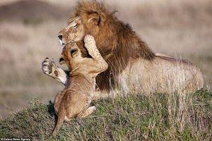 'Tan chảy' trước khoảnh khắc âu yếm tuyệt đẹp cực hiếm của cha con sư tử