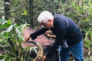 Bò tót nặng 800kg bị chết ở Đồng Nai là do già yếu, mắc bệnh phổi