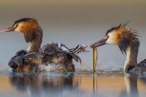 Ảnh động vật: Chim lặn mớm mồi cho con, khỉ âu yếm trong rừng...