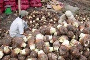 Nông dân Đồng Tháp lãi lớn nhờ khoai môn được mùa, giá cao