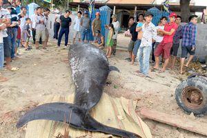 Cá voi nặng hơn 2 tấn dạt vào bờ biển Khánh Hòa
