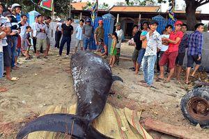 Chôn cất cá voi khoảng 2,5 tấn dạt vào bờ biển Khánh Hòa