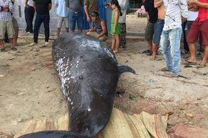 Cá voi dài 6m lại dạt vào bờ biển Khánh Hòa