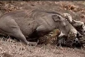 Gặp phải kẻ săn mồi tinh nhuệ, lợn rừng nhận cái kết bi thương