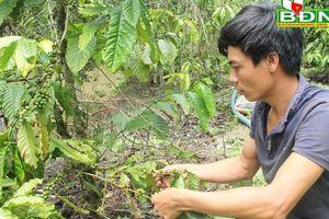 Đắk Nông: Cà phê rụng trái, do phân Đầu Trâu hay bị bệnh?
