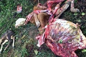 Phẫn nộ xẻ thịt bò mang thai, bê con chết bên cạnh