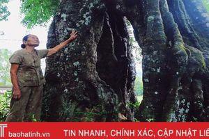 Mục sở thị cây thị cổ hơn 700 tuổi ở Hà Tĩnh