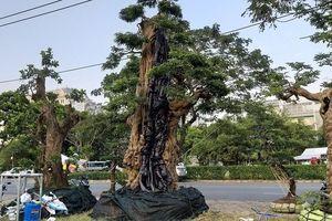 Loạt bonsai đắt đỏ của đại gia Việt