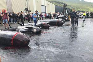 Thảm sát cá voi nhuộm đỏ cả vùng biển gây tranh cãi
