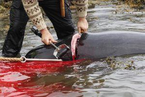 Thợ săn giết thịt 23 con cá voi, nhuộm đỏ nước biển ở quần đảo Faroe