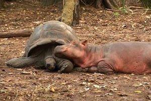 Thú vị về tình bạn vượt thời gian giữa rùa và hà mã