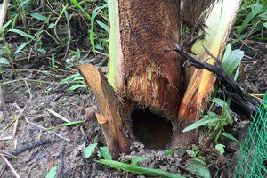 Sinh vật lạ tấn công vườn dừa ở Vĩnh Long, nông dân 'ngồi trên đống lửa'