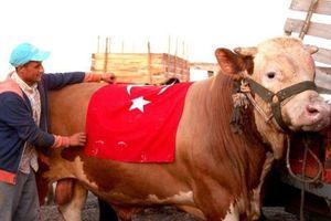 Thổ Nhĩ Kỳ: Lấy tên S-400 để đặt cho con bò hiến tế