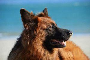 Top 10 giống chó dễ huấn luyện nhất thế giới