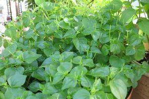 'Thần dược' chữa nhiều bệnh cực tốt từ loại rau mọc dại