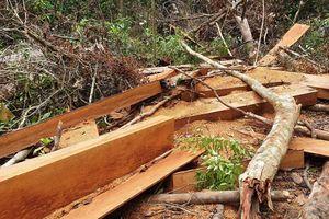 Thông tin mới nhất vụ 'xẻ thịt' rừng cổ thụ đầu nguồn ở Quảng Nam