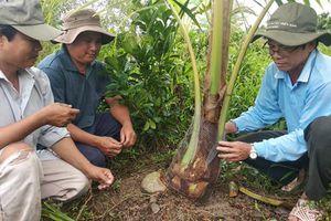Lăng kính Bạn đọc: Sớm tìm ra thủ phạm phá vườn dừa để dân không hoang mang