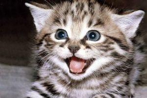 Vì sao loài mèo 'xâm chiếm' mọi nơi trên thế giới?