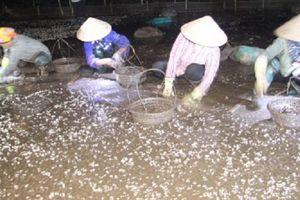 Ngao chết trắng đầm, ngư dân Thái Bình thiệt hại hàng trăm tỷ đồng