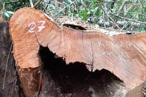 NÓNG - 99 cây gỗ lớn trong Vườn quốc gia Pù Mát bị đốn hạ