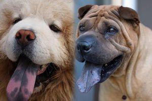 Những sự thật bất ngờ và thú vị về loài chó
