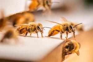 Phương pháp trị liệu bằng ong đậu đầy mặt không gây đau đớn