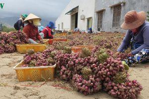 Nông dân Ninh Thuận phấn khởi vì hành tím được mùa, được giá