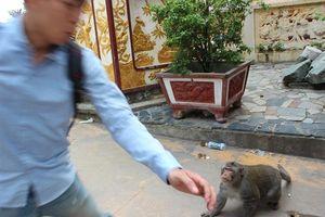 Chùm ảnh: Đàn khỉ kéo xuống chùa 'xin' thức ăn, nước uống rồi rượt đuổi du khách