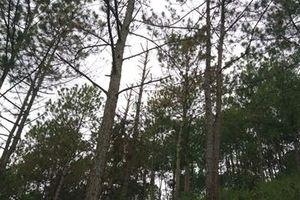 Phát hiện vụ đầu độc rừng thông quy mô lớn tại Đà Lạt