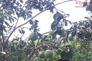 Bắc Giang: Bán bưởi non ghép cây cảnh Tết, thu lãi cao