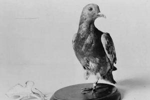 Chuyện thật không tưởng về chú chim bồ câu làm xoay chuyển cán cân lịch sử