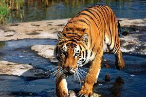 Số phận hổ Việt Nam trong bảo vệ động vật hoang dã