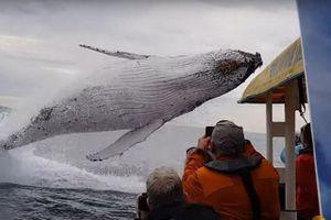 Cá voi khổng lồ nhảy khỏi mặt nước suýt đè bẹp thuyền nhỏ