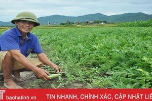 Trồng dưa trái vụ, nông dân Cẩm Lạc thu lãi hơn 10 triệu đồng/sào