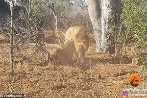 Lợn rừng bị đàn sư tử đánh hội đồng, lôi ra khỏi hang ăn thịt