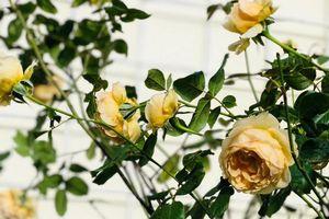 Góc vườn ngọt ngào nhờ tình yêu cuộc sống gửi gắm vào đam mê trồng hồng của bà mẹ trẻ ở Gia Lai
