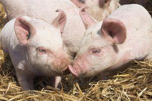 Thành tựu y học: Tim lợn có thể dùng để cấy ghép cho người