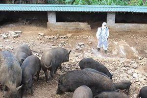 Dịch tả châu Phi lây lan, Lào Cai tiêu hủy 200 con lợn mỗi ngày