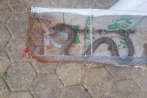 Những lần rắn bò vào chung cư Hà Nội khiến cư dân 'khóc thét'