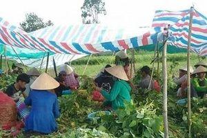 Trồng đậu nành rau được doanh nghiệp thưởng thêm vì sản phẩm an toàn