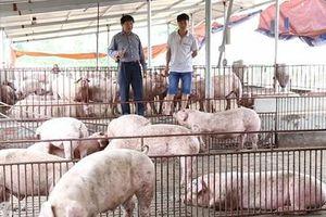 Phát triển phân bón hữu cơ từ thay đổi phương thức sử dụng nước trong chăn nuôi lợn