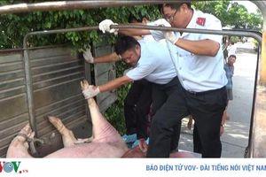 Bắt xe chở hơn 1 tấn lợn có dấu hiệu bị tả lợn châu Phi đi tiêu thụ